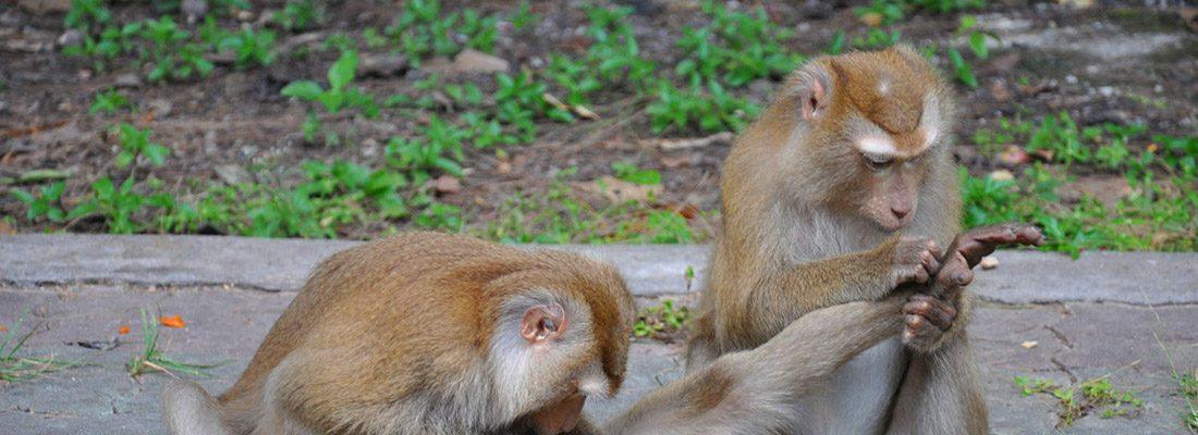 Массовая драка голодных обезьян произошла в Тайланде